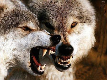 381546-wolves3-andquotim-angry-very-very-angryandquot.jpg