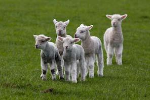 Fuzzy-Little-Lamb-1.jpg