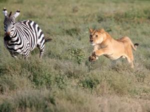 Lion-chasing-a-zebra-300x225.jpg