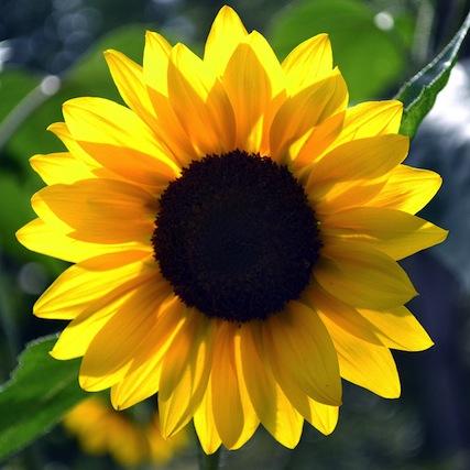 SunflowerPerfectBloom.jpg