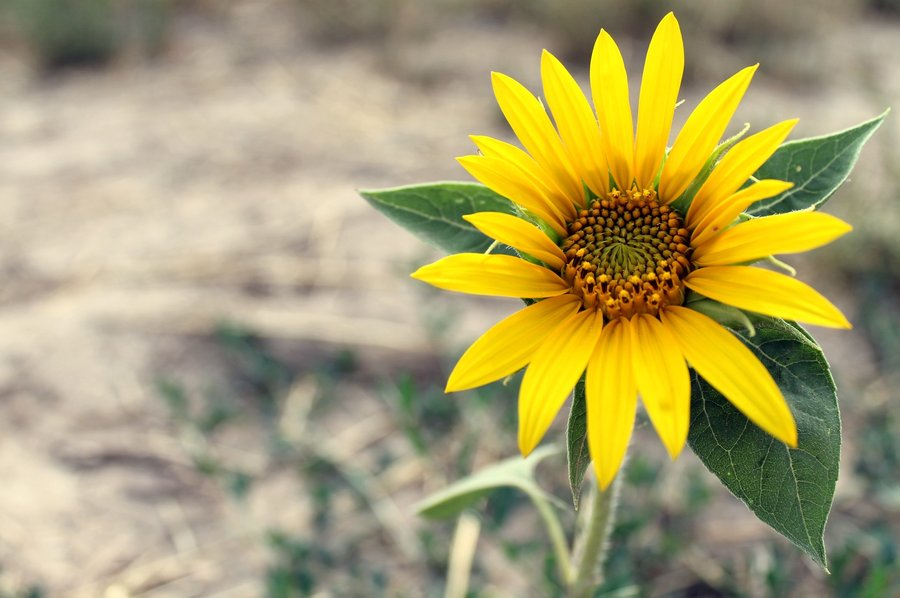 a_lonely_sunflower_by_szabodorina-d56t3pl.jpg