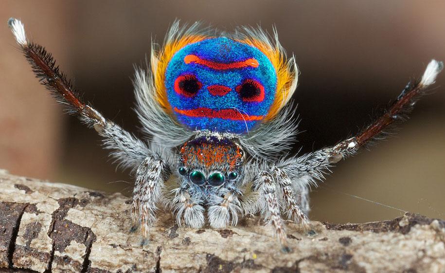 peacock-spider-jurgen-otto-17.jpg