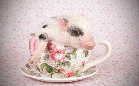 teacup-pig-hero.jpg