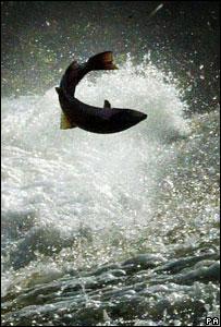42822429_salmon300pa.jpg