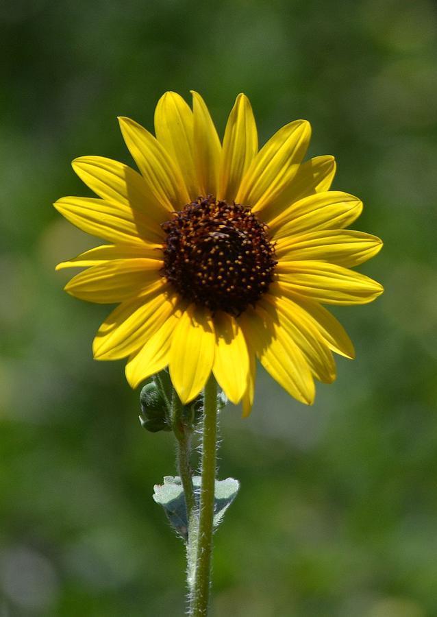 a-single-sunflower-jill-baum.jpg