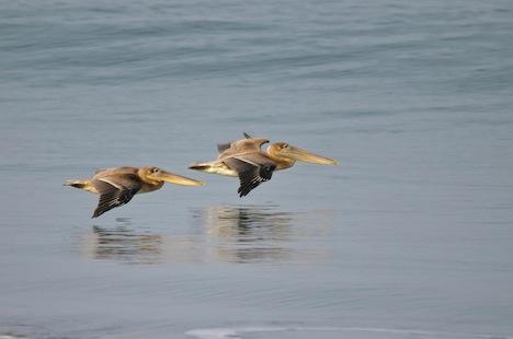 pelicans-flying-over-the-ocean-christine-kapler.jpg